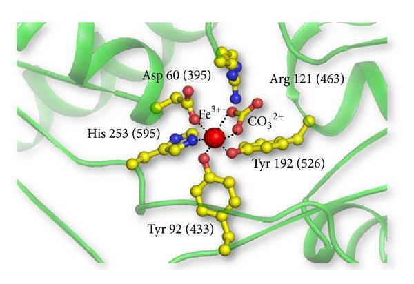 Схема связывания железа лактоферрином